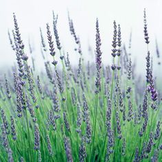 'Graves' English Lavender - 'Graves' offers gardeners lovely, wonderfully fragrant lavender-blue flowers in late spring and early summer. It's a heavy bloomer and grows a little taller than many of the other common English lavenders.  Note: If you have clay soil, amend it with an abundance of compost or another form of organic matter before planting 'Graves' or other types of lavenders