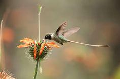 Hummingbird - El Santuario del Picaflor, Valle de Lluta, Arica, Chile.