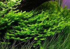 "Monosolenium Tenerum. Net to rocks to make ""bushes""."