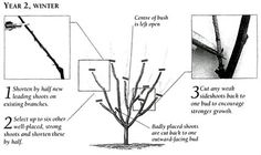 Gooseberry Bush Care | Planting | Pruning | Port Kells Nurseries