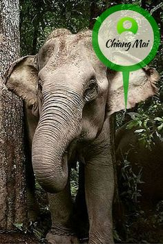 Explore the forests of Chiang Mai, Thailand with our elephant rehabilitation volunteers.  www.gvi.co.uk