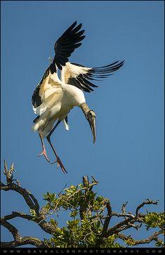 Wood Stork Landing - Bird Wildlife St. Augustine, Florida