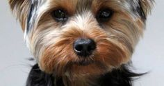 Yorkie puppy cut - picture