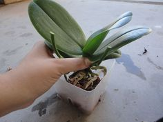 Orchidee: ecco dei consigli semplici ed efficaci per farle rifiorire Garden Plants, House Plants, Natural Pink Lips, Chlorophytum, Vegetable Garden Tips, Organic Horticulture, Tropical Backyard, Growing Orchids, Orchid Plants