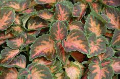 Wizard Coral Sunrise Coleus (Solenostemon scutellarioides 'Wizard Coral Sunrise') at Buchanan's Native Plants Purple Heart Plant, Fast Growing Plants, Low Maintenance Plants, Beneficial Insects, Leaf Coloring, Native Plants, Plant Care, House Plants, Perennials