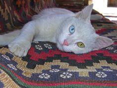 van-kedisi mavi yesil gozlu