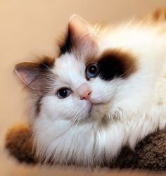 Arlo Lazee Cat | Flickr - Photo Sharing!