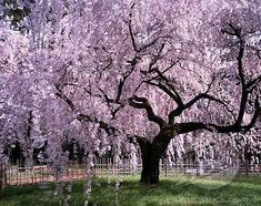 Weeping cherry tree.