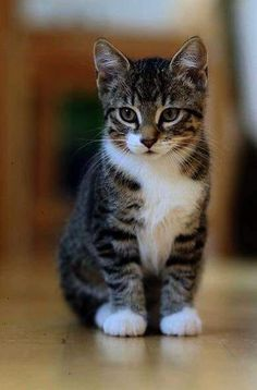 Stunning >> Cute Cats And Kittens Pictures ;D Stunning >> Cute Cats And Kittens Pictures ; Fluffy Kittens, Cute Cats And Kittens, Baby Cats, Cool Cats, Kittens Cutest, Ragdoll Kittens, Bengal Cats, Pretty Cats, Beautiful Cats