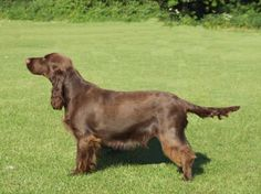 Field Spaniel | Incredibly gorgeous!!