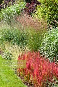 Miscanthus and Molinia imperata cylindrica 'Red Baron' in mixed border