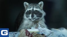 The Scavenging Raccoons From Geico& New TV Ad Are Doing Gross Cooking Demos Online Funny Commercials, Funny Ads, The Funny, Hilarious, Funny Shit, Viral Videos, Funny Videos, Tv Ads, Creative Advertising