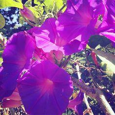 #morningglories#flowerporn#instaflower#instaflowers Jin, Instagram Posts, Plants, Gin, Plant, Planting, Planets