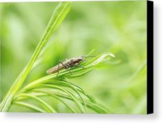 Bug Canvas Print featuring the photograph Lounging On The Greens by Ann Skelton