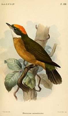The Orange-crested Manakin (Heterocercus aurantiivertex) is a species of bird in the Pipridae family. It is found in Ecuador and Peru. Botanical Drawings, Botanical Art, Vintage Bird Illustration, Audubon Birds, Science Illustration, Bird Book, Australian Birds, Water Art, Watercolor Bird