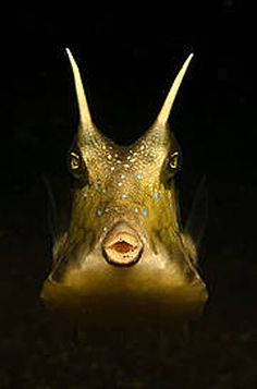 Longhorn Cowfish by Christoph Giese