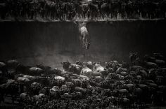 """Nature Winner: """"The Great Migration"""" Location: North Serengeti, Tanzania Photo and caption by Nicole Cambré/National Geographic 2014 Photo Contest Nicole Cambré describes this image as the """"jump of the wildebeest at the Mara River. Photography Themes, Photography Contests, Stunning Photography, Photography Awards, Animal Photography, Photography Office, Landscape Photography, Nature Photography, Object Photography"""