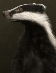 Elegant badger - not sure if this is a photograph or not? #badger #portrait