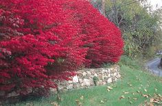 Euonymus alatus 'Compacta'- Dwarf Burning Bush -- I would really love go have a hedge of this in my yard! Especially for the fall