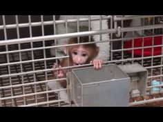 Stephen Suomi has to rank among the worst people to ever exist.  NIH Child Abuse: Experiments on Baby Monkeys Exposed. (Psychological torture at The National Institute of health Laboratory in Maryland)