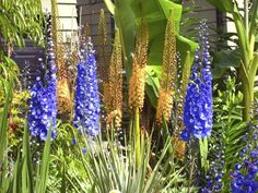 Eremurus, commonly known as foxtail lilies or desert candles, blend well with Delphinium.
