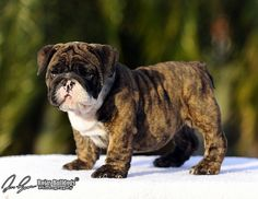 Brindle English Bulldog pup. Saw a guy like this in the puppy store today. WANT.