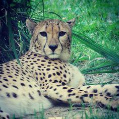 Leopard (Memphis zoo)
