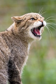 Scottish Wildcat opening her mouth while meowing .... click on picture for more