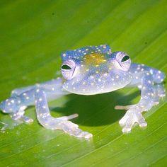 Blue Glass frog (Cochranella mache) Ecuador&Columbia,S.A.