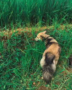 Ngemilin padi  . #anjingkampung #localbreed #cutedog #pang_lupi Cute Dogs, Adventure, Nature, Animals, Naturaleza, Animales, Animaux, Animal, Adventure Movies