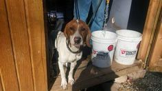 Hinton, WV: 1 year old 40 lb. M Redtick Coonhound named Zeke @ Summers County Humane