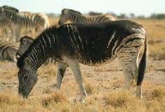 Melanism Zebra
