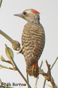 Little Grey Woodpecker Dendropicos elachus - Google Search