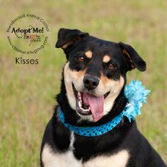 05/19/14 Kisses #12924 Shepherd Mix • Young • Female • Medium City of Friendswood Animal Control Friendswood, TX