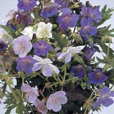 Geranium pratense 'Mixed'