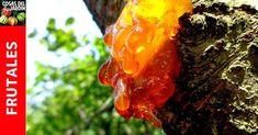 Si tienes árboles frutales de hueso, tendrás que aprender qué causa la enfermedad de la gomosis. Sigue leyendo para saber qué lo causa, como tratarla y prevenirla