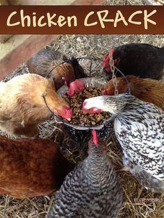 Chicken Crack - The healthy treat your chickens will go CRAZY for! by Florassippi Girl: Chicken Garden, Chicken Life, Backyard Chicken Coops, Diy Chicken Coop, Homemade Chicken Feeder, Chicken Swing, Backyard Poultry, Small Chicken, Raising Backyard Chickens