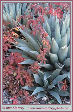 A New Mexico garden scene with Virginia Creeper and Parry's Agave. IMG_C_10060 by The Bright Edge - Photography by Anne Slattery, via Flickr