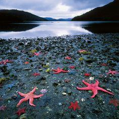 Bei Ebbe leuchten die großen Roten Seesterne auf dem Meeresgrund. Dank der hier heimischen Haida-Indianer wurde deren Lebensraum, die Queen Charlotte Islands vor der kanadischen Pazifikküste, 1987 zum Nationalpark erklärt – Diese Karte hier online kaufen: http://bkurl.de/pkshop-212027 Art.-Nr.: 212027 Geschütze Sterne | Foto: © Carr Clifton | Text: Rolf Bökemeier