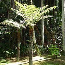 O caule do xaxim é ereto e bastante desenvolvido, podendo alcançar até 10 metros de altura. Dele formam-se raízes entrelaçadas com grande capacidade de absorção e retenção de água.