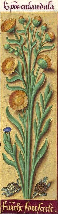 Franche souscicle - Species calandula (Calendula offîcinalis L. = souci cultivé) -- Grandes Heures d'Anne de Bretagne, BNF, Ms Latin 9474, 1503-1508, f°152r