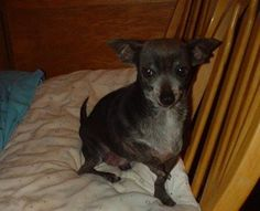 Hello -My name is Charity. I am a special Blue Chihuahua from West Texas. I was abandoned in a kill shelter several years ago with my daughter Hope. We both had congenital deformities. i was born with deformed front legs, my paws are crooked and missing some bones. Our foster mom says a breeder made us wrong that way. But I am soft and sweet and easy to love.