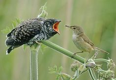 A reed warbler feeds a cuckoo chick which it has raised as its own.