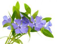Barwinek - zimozielone rośliny okrywowe strona 2