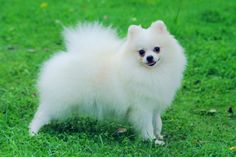 pomeranian puppies | White Pomeranian. Female, age of 8 months