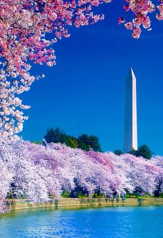 Cherry Blossom Festival in Washington, D. Since I live in Annapolis, Maryland, this is a great place to visit close to my home. The Cherry Blossoms are a must see if you haven't seen them before. Places Around The World, Oh The Places You'll Go, Places To Travel, Places To Visit, Travel Destinations, Wyoming, Beautiful World, Beautiful Places, Trees Beautiful
