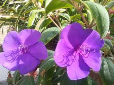 Beautiful Tibouchina flowering every day in this glorious heat