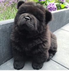 Throwback to me as little Puppy Philosopher. Fluffy Puppies, Teacup Puppies, Little Puppies, Baby Puppies, Corgi Puppies, Beautiful Dogs, Animals Beautiful, Black Chow Chow, Dog Body Language