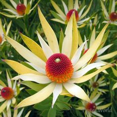 Leucadendron Wildfire - Looking for ideas for your small garden or backyard? They are ideal for pots and containers and require low maintenance.  #proteaflora #proteaceae #proteas #australianflora #homegardening #gardenideas #homegarden #australianplants #australianflowers #australianflora #gardeninspiration #leucadendron