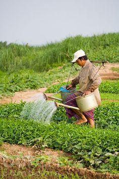 Man watering vegetable field | Phnom Penh, Cambodia
